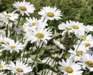 Group of White Daisies in Garden