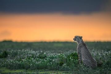 Cheetah Sitting in Grass at Sunset