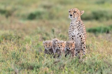 Female Cheetah with Three Cubs Sitting in Grass