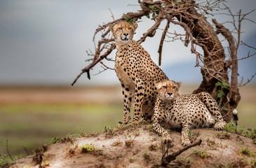 Two Cheetahs Resting in Masai Mara National Reserve