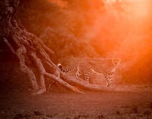 Cheetah Walking at Sunset