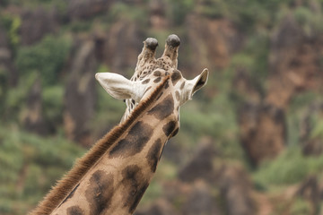 Back neck and head of a giraffe