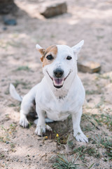 Portrait of sitting cute Jack Russell Terrier dog