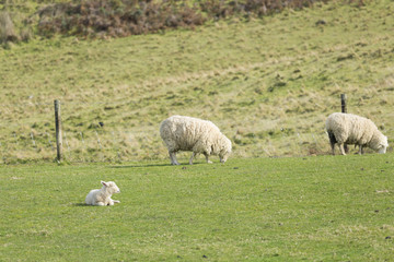 Sheep in Green Field on Sunny Day