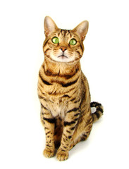 Bengal cat sitting on white background - Stock photo