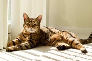 Portrait of a Bengal cat near window - Stock photo