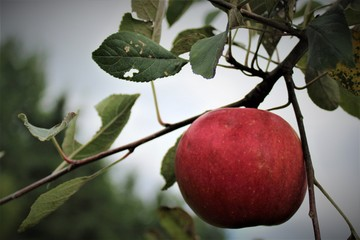 Red Ripe Apple in Tree