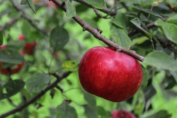 Close-up of Red Ripe Apple in Tree at angle