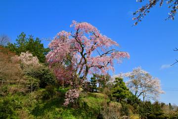 忠七桜(郡山市)
