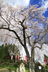 龍光寺の桜(郡山市)
