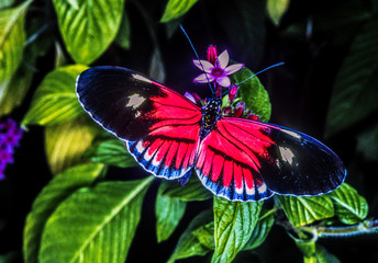 Heliconius,colorful,butterflyi in Florida