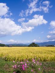 秋の稲穂 コスモス 青空 白い雲 稲刈り 収穫 実り 秋晴れ 田園風景