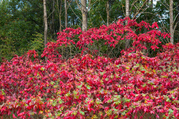 Sumac turns bright red in fall in Necedah National Wildlife Refuge in Wisconsin