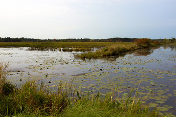Water Lilies grow in a marshy pond in Necedah National Wildlife Refuge in Wisconsin