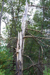 Snag dead tree provides habitat for woodpeckers in Necedah National Wildlife Refuge in Wisconsin