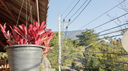 Aechmea fasciata for garden decoration.