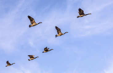 swarm of goose flying