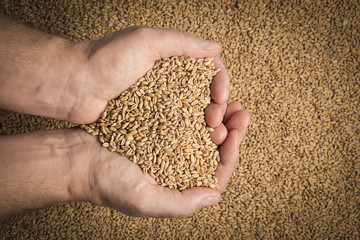 wheat grains in hands  - close up