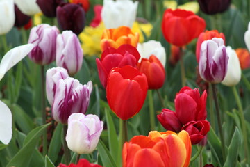 Acrylic Prints Tulip Tulips