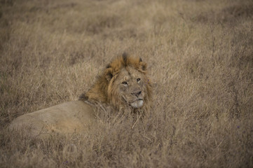Male lion lying down and looking back at camera. Full mane showing. Tarangire National Park, Tanzania, Africa