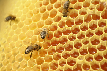 Bees working on a honeycomb inside the beehive