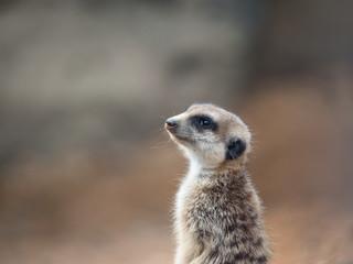 Meerkat, suricate portrait