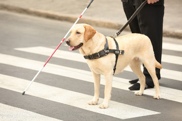 Guide dog helping blind man on pedestrian crossing