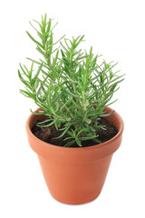 Pot with rosemary on white background