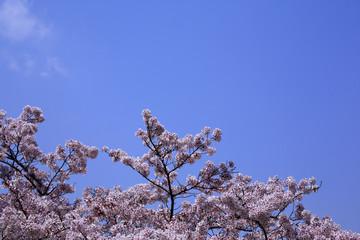 Sakura and Aozora in Arashiyama, Kyoto