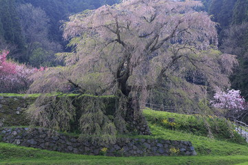 Matabee cherry tree in Nara, Kinki, Japan