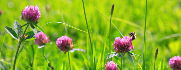 Bee on clover flowers field.