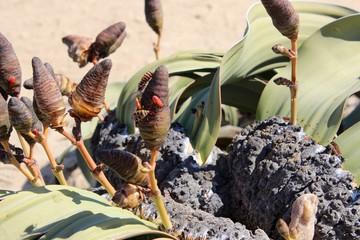 Fleurs désert du Namib