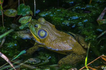 Closeup of frog sitting in a green pond