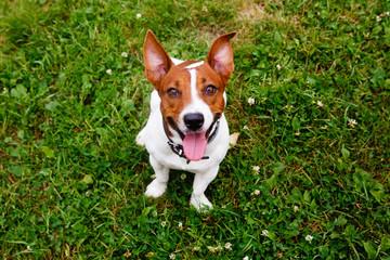 Jack Russell Terrier walking on green meadow