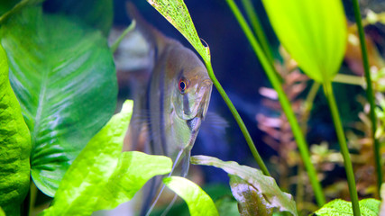 Angelfish hiding between Anubis and Amazon Swords and Java Fern in planted tropical aquarium shallow DOF