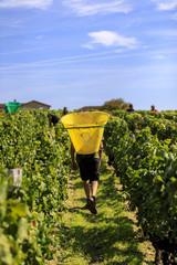 Vendange of Red Wine at Château Gruaud-Larose Grand Cru, Saint Julien, Bordeaux in France