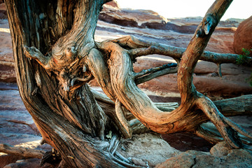 Twisted Tree in Garden of the Gods