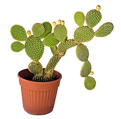Foto op Canvas Cactus Opuntia cactus isolated on white background