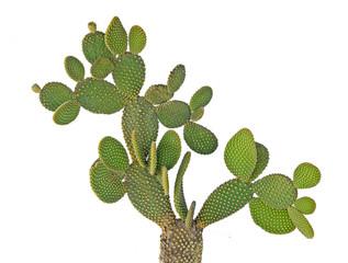 Photo sur Aluminium Cactus Opuntia cactus isolated on white background