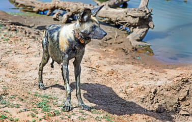 A solitary african wilddog standing near a waterhole.  The dog is collared and data used to conserve this endangered animal, Namibia