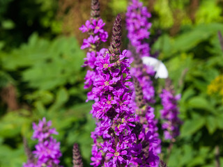 Purple Loosestrife or Lythrum salicaria blossom at flowerbed close-up, selective focus, shallow DOF