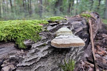 tinder fungus (Fomes fomentarius) on dead tree trunk