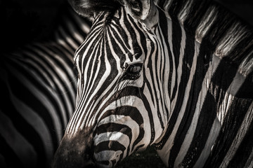 Fotobehang Zebra High contrasty zebra portait
