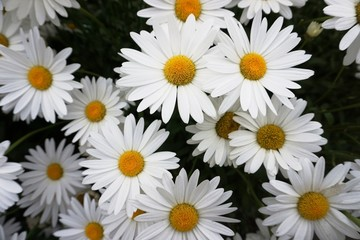 White daisies with yellow centre in close up.