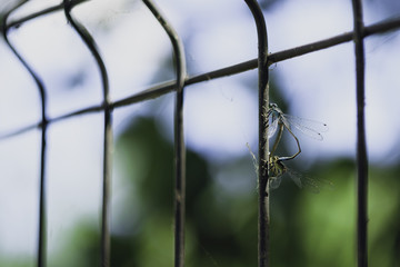 Close-Up Of Two Dragonflies Reproducing On Iron Fence