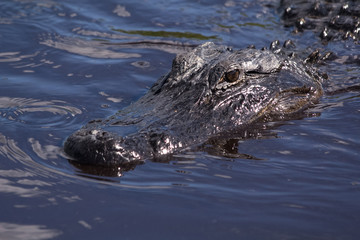 Alligator swimming in the murky waters of the Everglades National Park in Florida