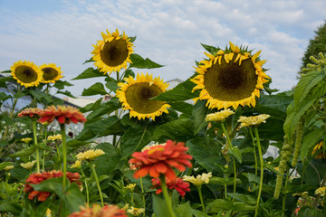 sunflowers in garden with front view of small red flowers happy summer mood