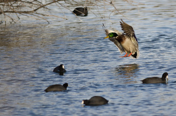 Fototapete - Mallard Duck About to Land on the Water