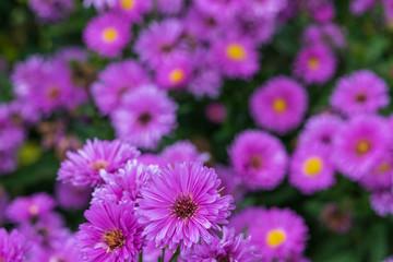 Purple Cutter flowers field