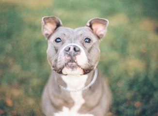 Smiling Pit Bull Terrier